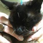 Cat receiving accupuncture