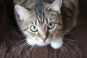 Tabby cat looking up at camera